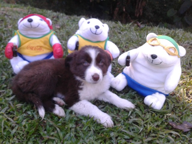 Foto 1 - Border collie femeas cholates filhotes