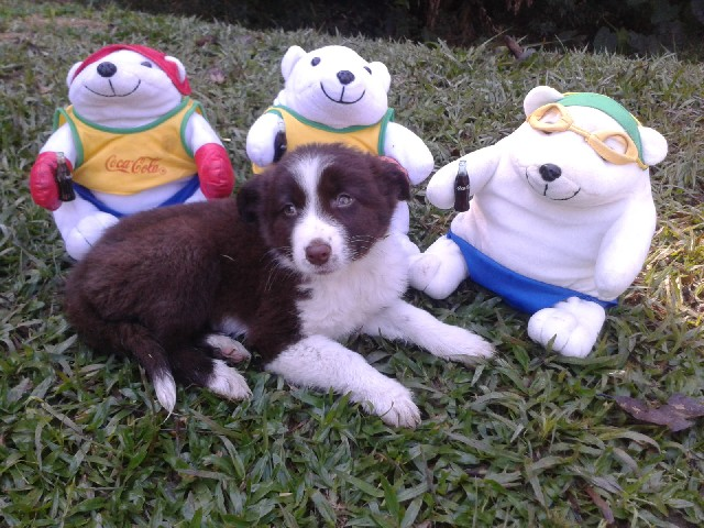 Foto 2 - Border collie femeas cholates filhotes